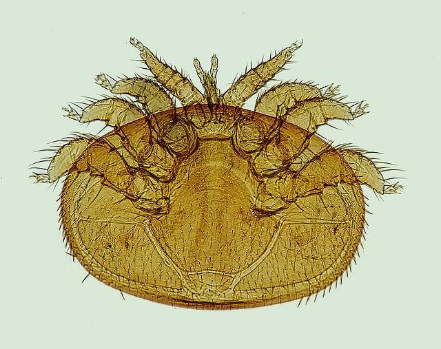varroamilbe parasit